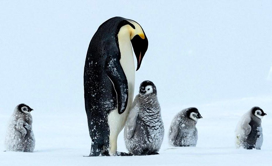 南极 帝企鹅