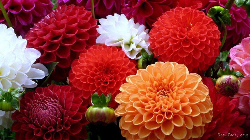 美丽的大丽花,世上最漂亮的花朵[2],植物大丽花墨西哥国花