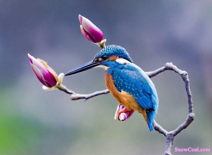 翠鸟与花,意境动物翠鸟