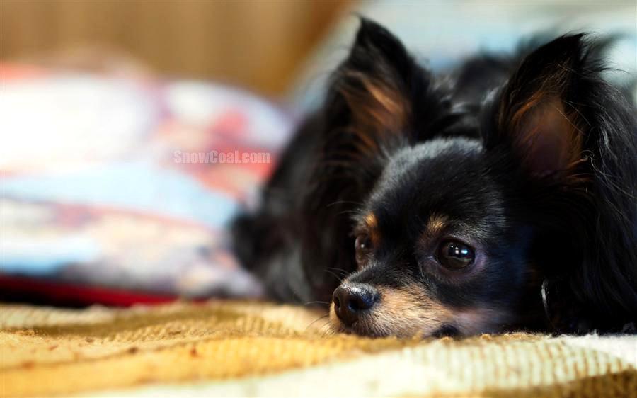 吉娃娃萌图欣赏,动物狗狗吉娃娃