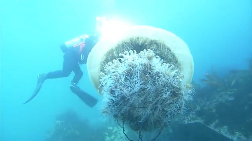 日本 巨型水母