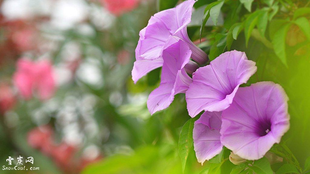 牵牛花的艺术美境与爱情传说[3],植物牵牛花牵牛花的爱情传说