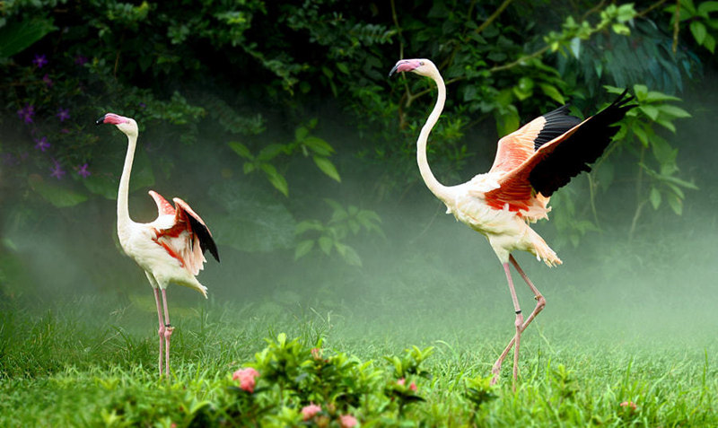 意境美图-翩翩起舞的火烈鸟,意境动物火烈鸟