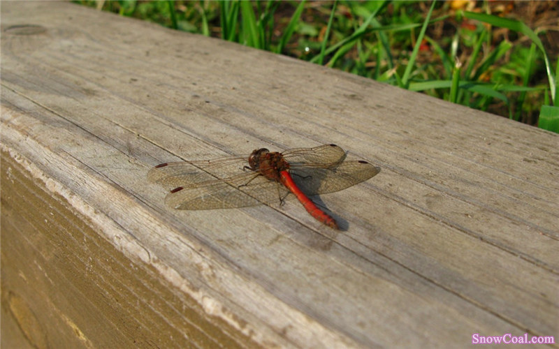 动物 蜻蜓 摄影