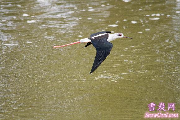 黑翅长脚鹬飞翔图