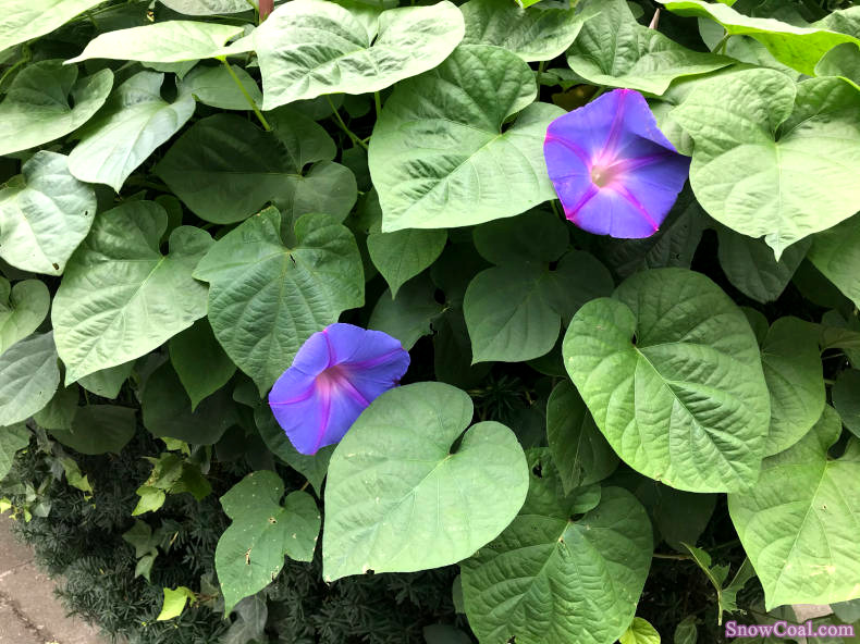美到心伤-紫牵牛(你知道为什么叫牵牛花吗)