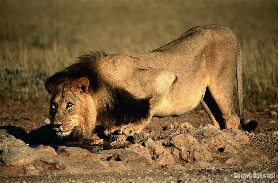 威武的雄狮组图欣赏