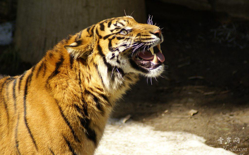 虎啸深山 高精极品的老虎图片欣赏