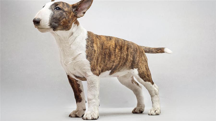牛头梗 有个性的狗狗