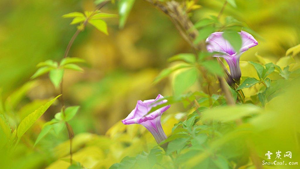 牵牛花的艺术美境与爱情传说[2],植物牵牛花牵牛花的爱情传说