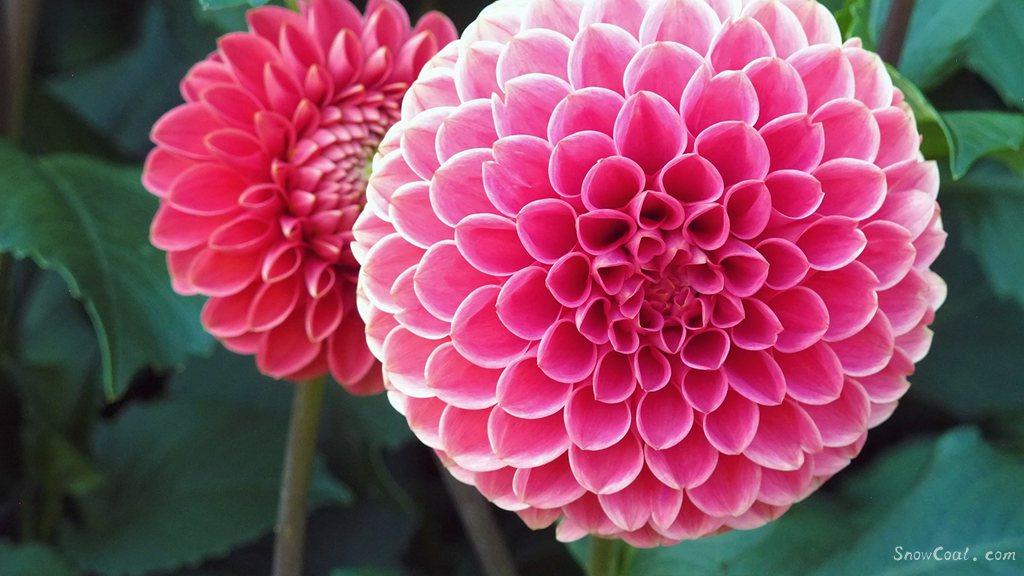 美丽的大丽花,世上最漂亮的花朵[4],植物大丽花墨西哥国花