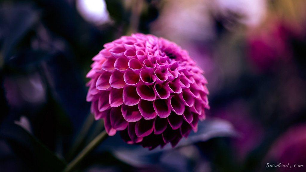 美丽的大丽花,世上最漂亮的花朵[5],植物大丽花墨西哥国花