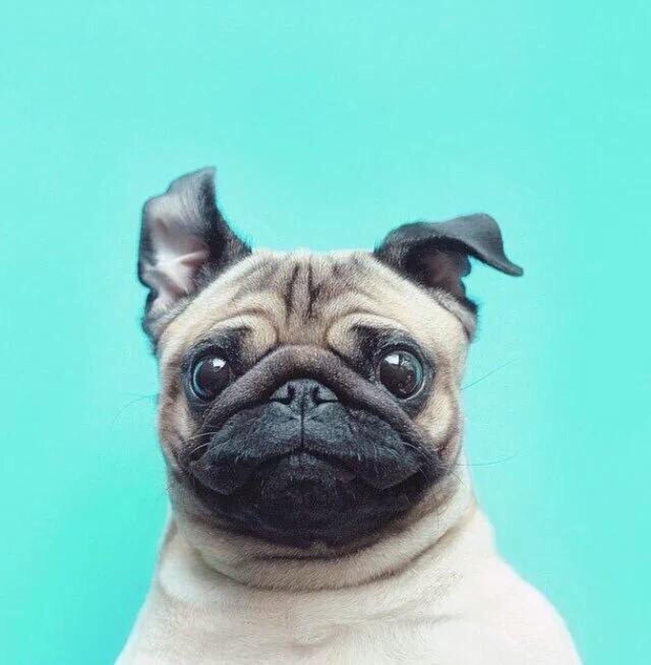 狗狗也照二寸照,动物狗狗宠物
