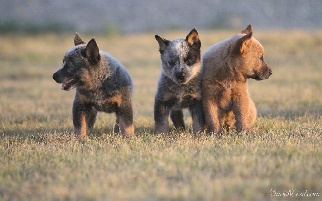 澳洲牧羊犬,彪悍造型,宠物澳洲牧羊犬狗狗