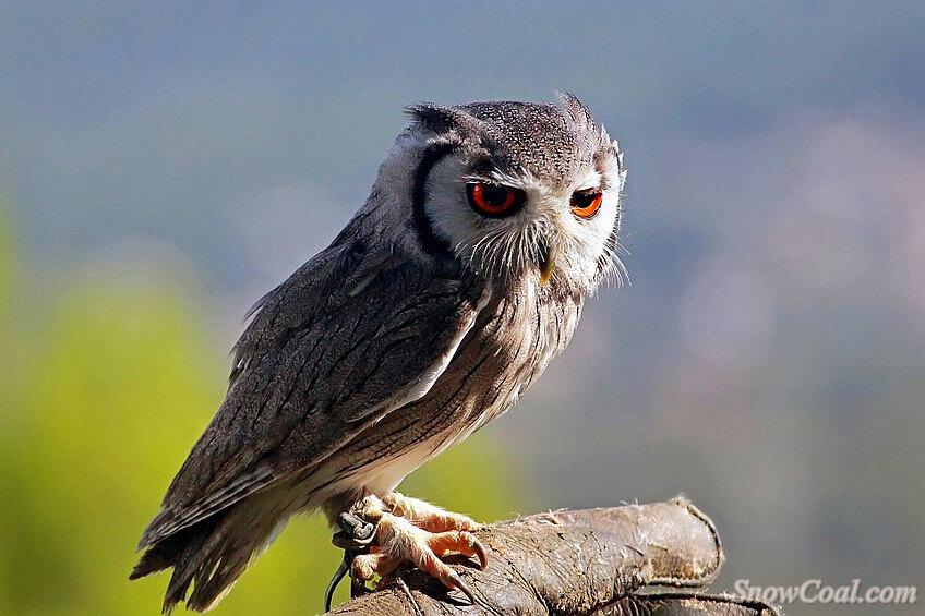 猫头鹰高清美图