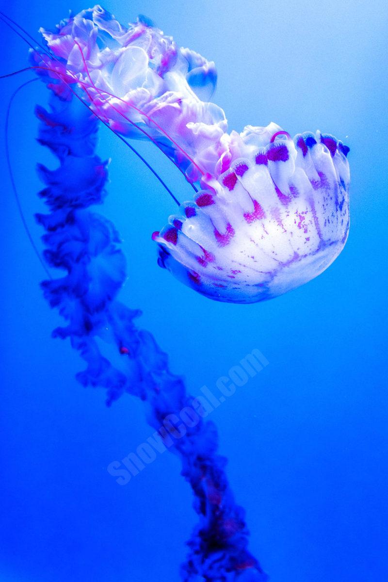 高清水母图片