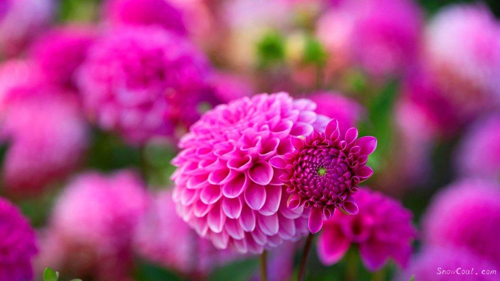 美丽的大丽花 世上最漂亮的花朵