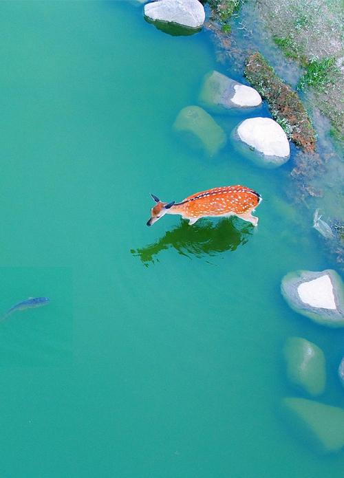 自然美景-梅花鹿与鱼