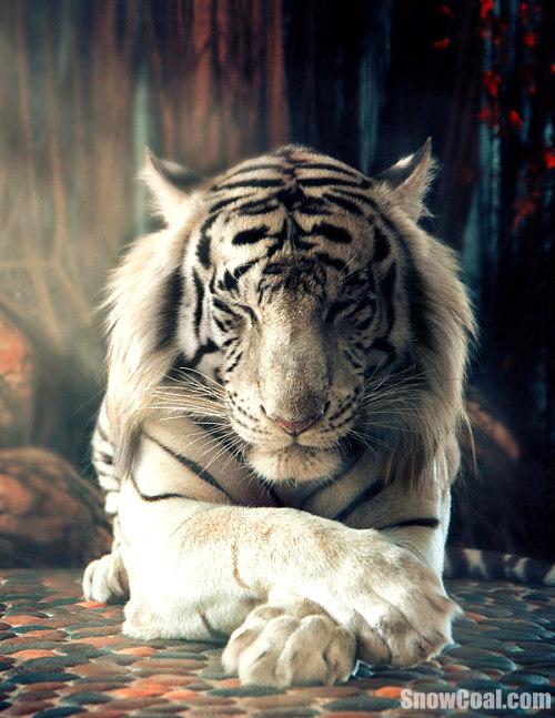 高清虎图,动物虎
