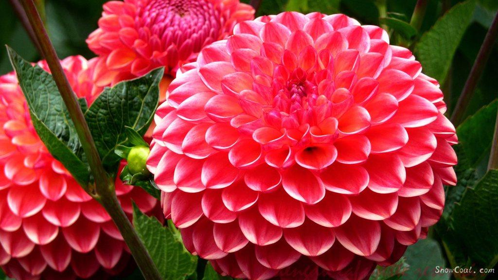 美丽的大丽花,世上最漂亮的花朵[3],植物大丽花墨西哥国花