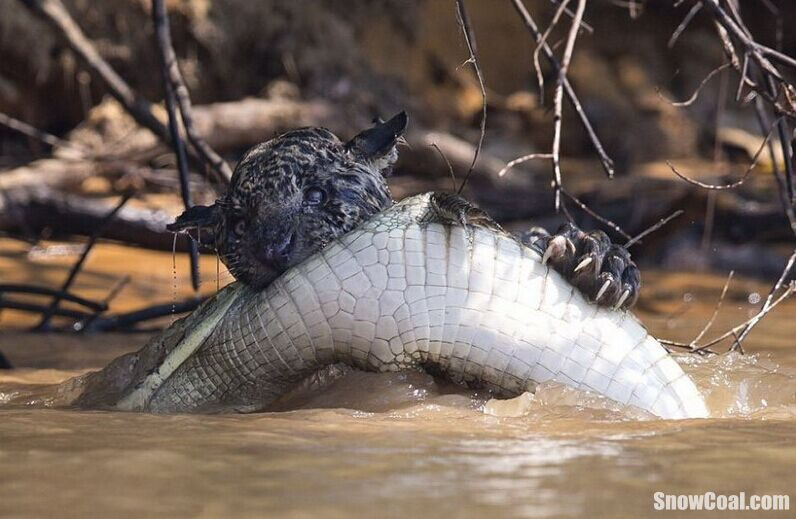 美洲豹大战鳄鱼