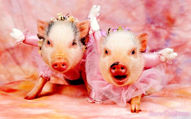 你见过这么可爱的猪吗?,宠物猪