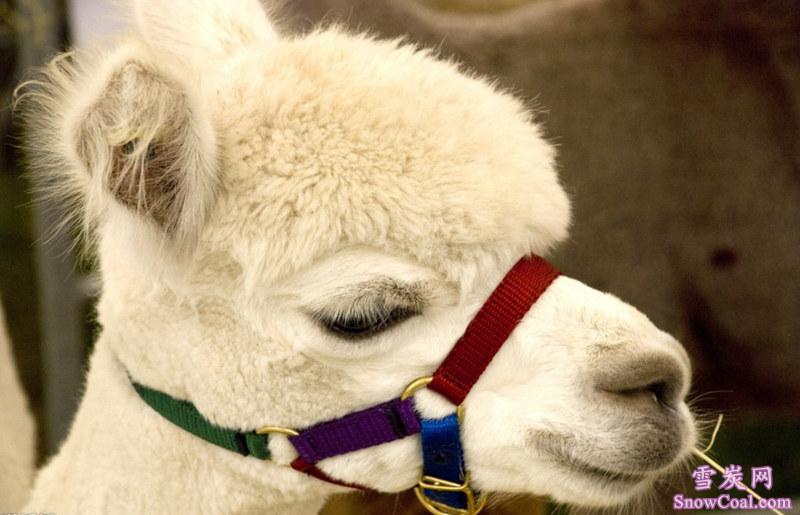 羊驼(草泥马)最帅气图片