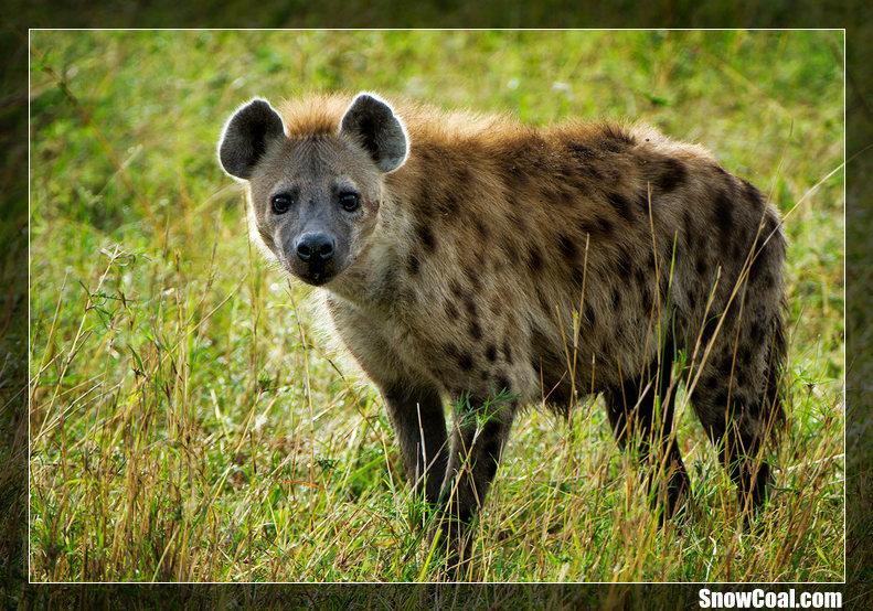 关于非洲斑鬣狗你可能不知道的事