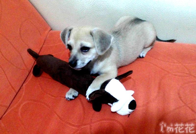 my,doggy——花花公主四个月了,宠物动物狗狗花花四个月
