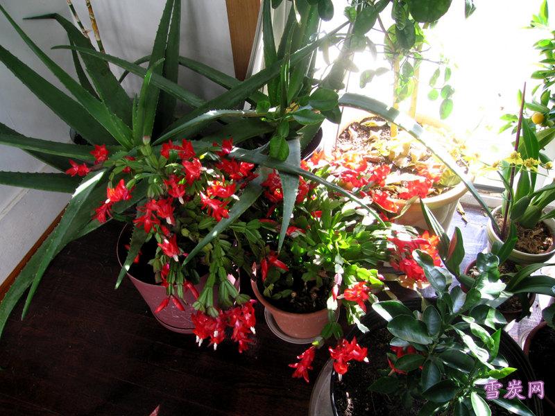 蟹爪兰花欣赏,植物蟹爪兰花