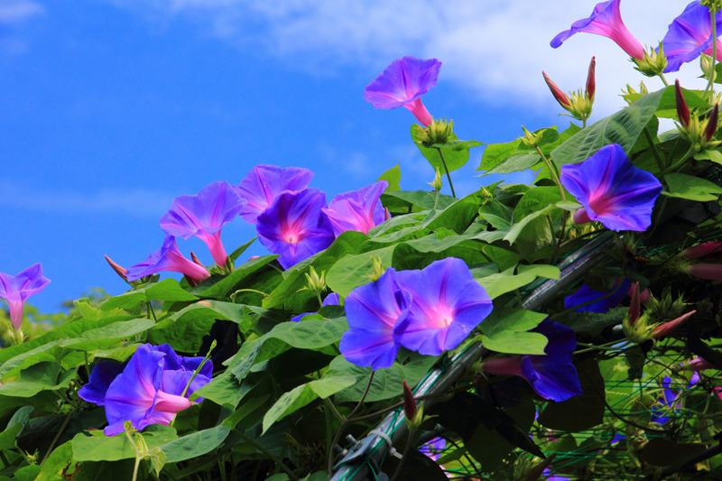 花之物语 牵牛花 紫牵牛