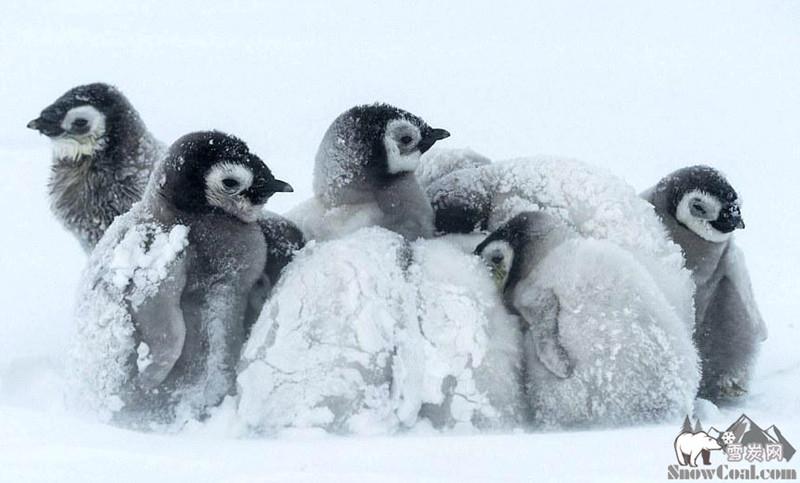 暴风雪下的南极帝企鹅