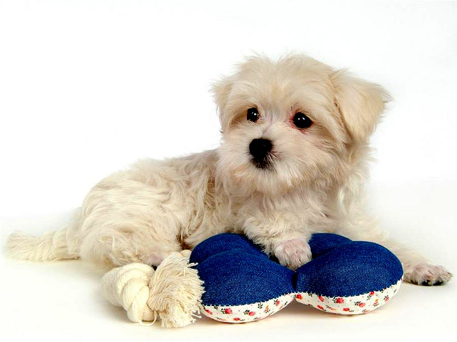 可爱的小白狗欣赏
