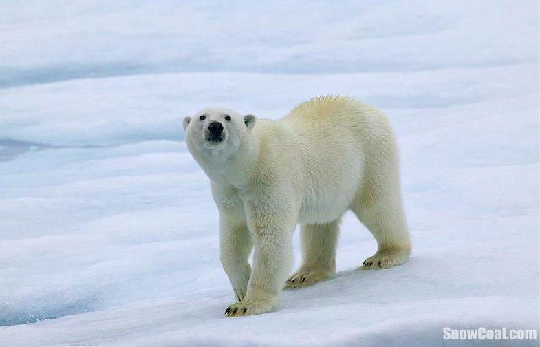 北极熊精彩美图