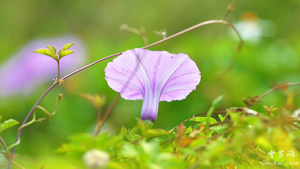 牵牛花的艺术美境与爱情传说,植物牵牛花牵牛花的爱情传说